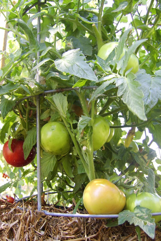 STA74594  Tomatoes Sarah Redmond